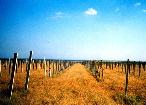Виноградник...был. Крым